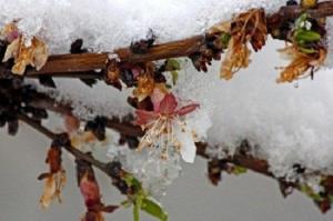 خسارت میلیاردی سرمازدگی به محصولات کشاورزی استان قزوین