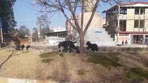 خیابانهای شهرستان چگنی جولانگاه سگهای ولگرد شد