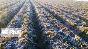 سرما به مزارع غلات جوین در خراسان رضوی خسارت زد