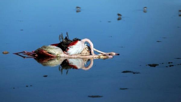 مجموع تلفات پرندگان مهاجر به مرز ۱۲ هزارو ۵۰۰ لاشه بال رسید