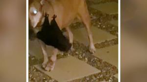 آویزان شدن یک خفاش بزرگ از سگ خانگی