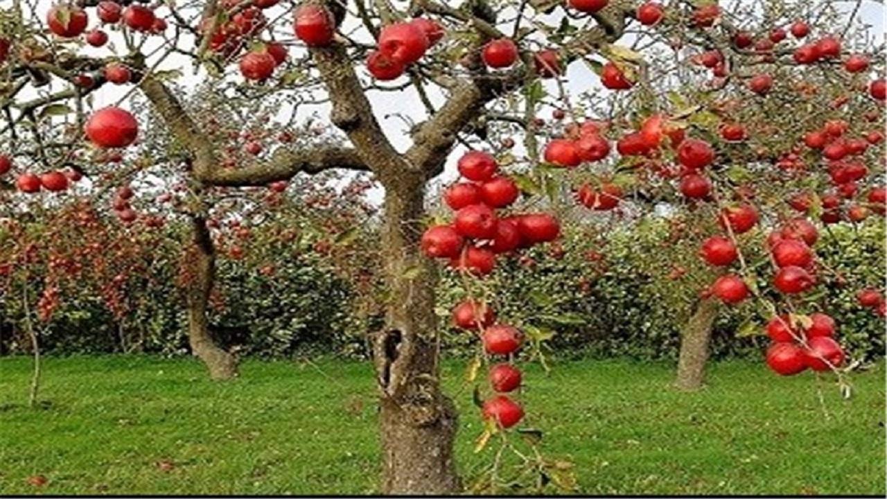 باغداران اردبیلی از هرس درختان میوه خودداری کنند