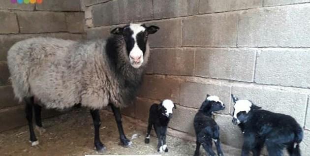 تولد گوسفندی عجیب با ۲ سر در ایلام