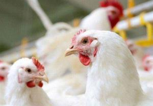 ۲۱ هزار قطعه مرغ هر ساعت در کشتارگاههای لرستان کشتار میشود