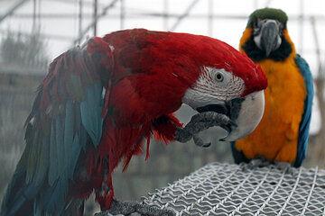 نمونه گیری از باغ پرندگان بروجرد برای تشخیص آنفلوآنزا انجام شد