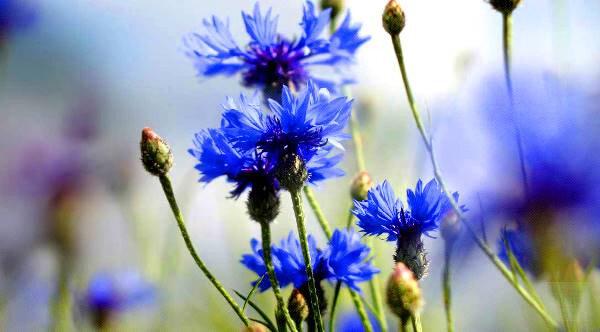 گل گندم ، گیاه درمانی برای جوش و آکنه
