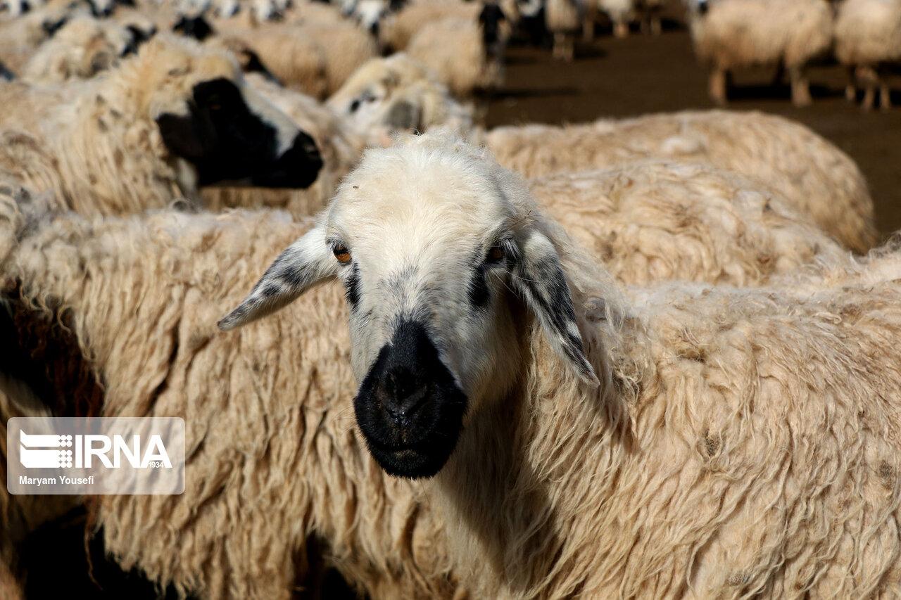 عکس/ پرورش سنتی دام سبک با اصلاح نژادی در مرند