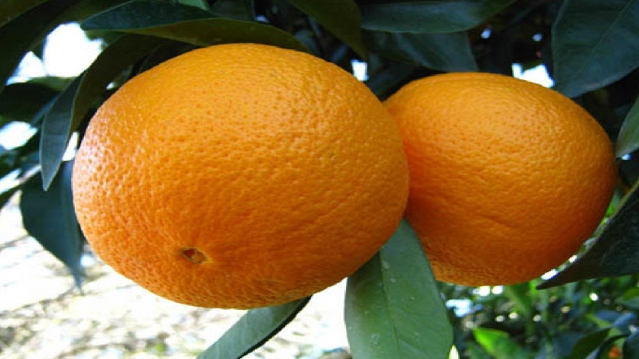 پیشبینی برداشت ۷ هزار تن پرتقال والنسیا از باغهای هرمزگان