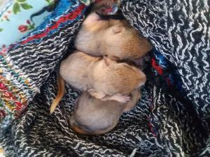 کشف ۳ بطانه بچه سنجاب در مریوان