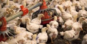 عمان واردات پرنده زنده از ایران را ممنوع کرد