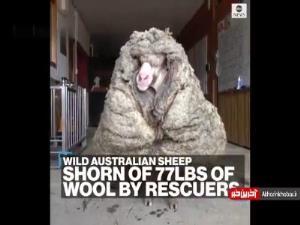 پیدا شدن گوسفندی در جنگل با 34 کیلو پشم!
