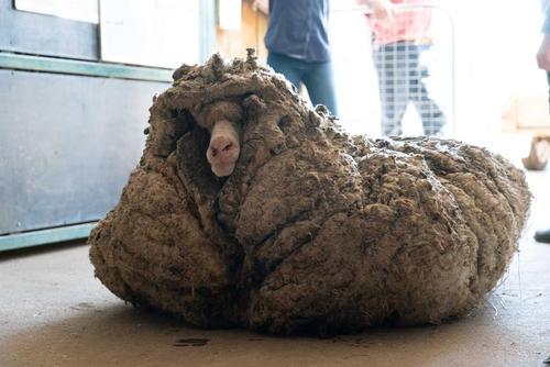 عکس/ 35.4 کیلوگرم پشم از روی بدن گوسفند استرالیایی جمع شد!