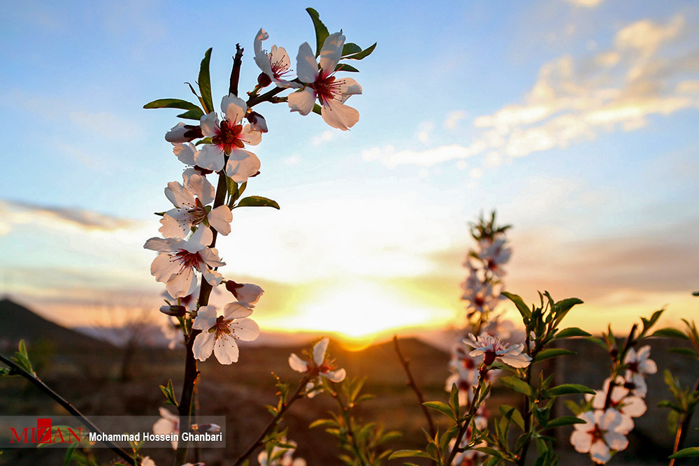 شکوفه های زمستانی در کرمان