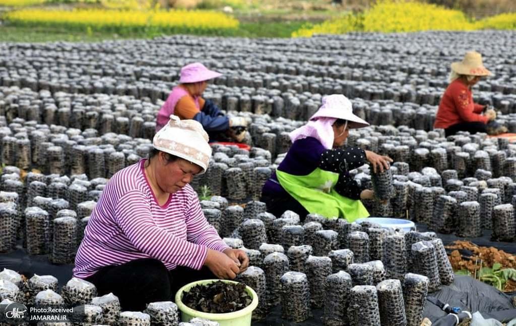 خشک کردن و فروختن قارچ سیاه خوراکی در چین