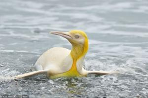 گوناگون/ پنگوئنی با رنگ گرمسیریِ زرد درخشان