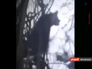 بلایی که تیرِ شکارچی بر سر یک خرس البرز آورد
