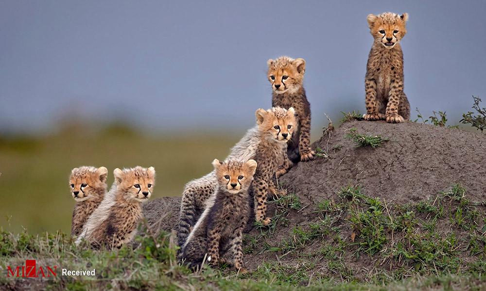 شکار یوزپلنگان توسط دوربین ها