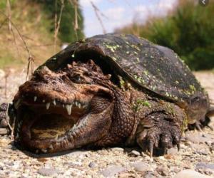 لاکپشت تمساح و نحوه شکارش