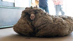 گوسفند فراری به آرایشگاه رفت!