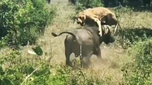 معادله طبیعت برعکس شد؛ حمله وحشیانه بوفالو به یک شیر نحیف!