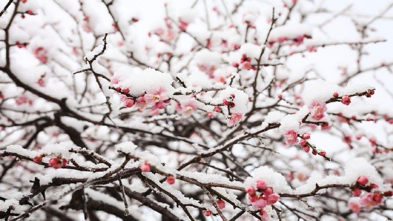 همنشینی برف و شکوفه در برخی مناطق گیلان