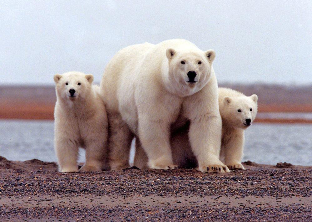روز بین المللی خرس های سفید قطبی