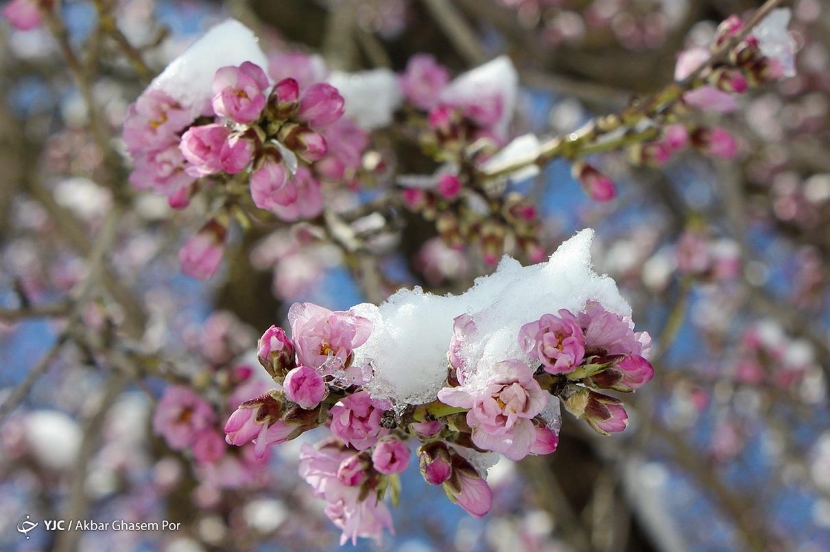 یخ زدگی شکوفه های درختان بادام در سامان