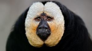 میمونهای