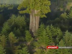 تصویری از بلندترین و خوش شانس ترین درخت جهان!