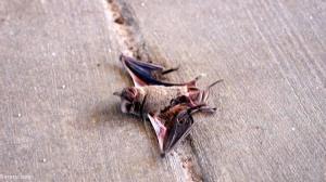 مرگ صدها خفاش در سرمای تگزاس