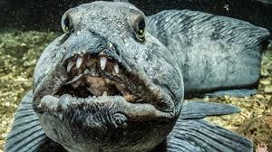 قدرت دندانهای گرگ ماهی!