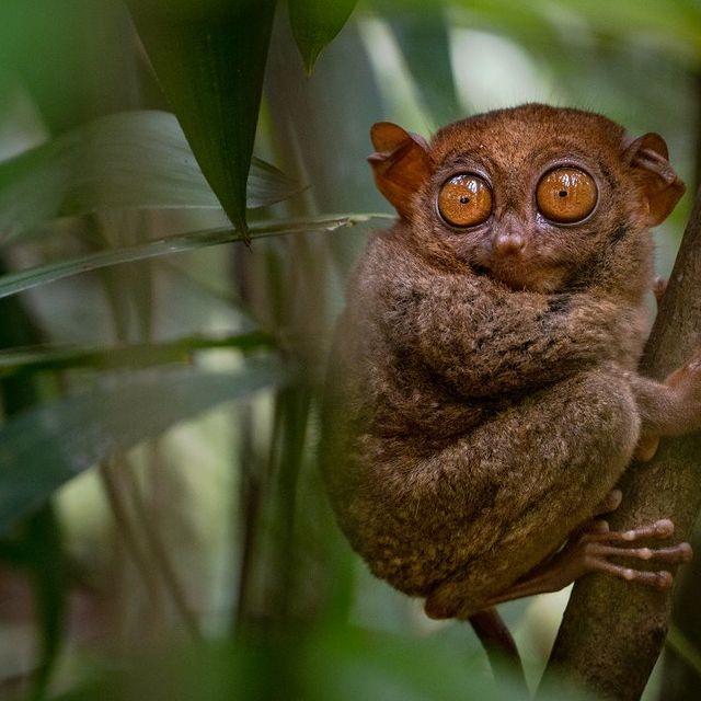 تارسیر در جنگل های فیلیپینی