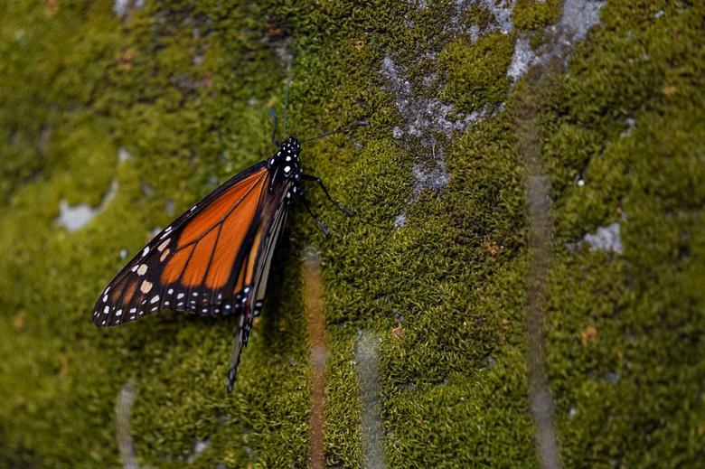 خواب زمستانی پروانه های سلطان در جنگل