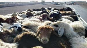وانت حامل گوسفندان قاچاق در قاین به مقصد نرسید
