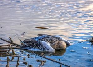 آنفلونزا فوق حاد پرندگان را جدی بگیریم