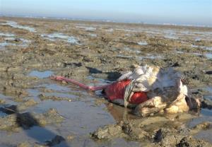 ناقوس مرگ در تالاب میانکاله؛ ۱۸ هزار پرنده تلف شدند