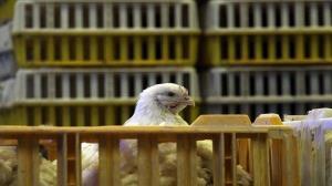 کشف بیش از ۳ هزار قطعه مرغ زنده قاچاق در بدره