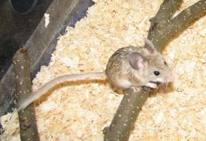 نوعی موش کمیاب در کرمانشاه مشاهده شد