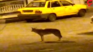 ترس زنجانیها از مشاهده یک گرگ در شهر