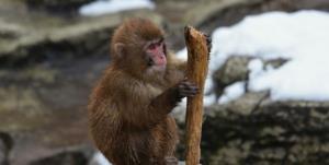 فروشنده یک قلاده میمون در مشهد بازداشت شد