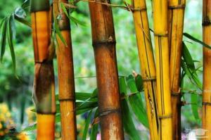گیاه نی می تواند سرب را از محیط زیست پاک کند