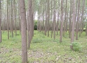 زراعت ۱۰ هکتار چوب در شهرستان بویراحمد