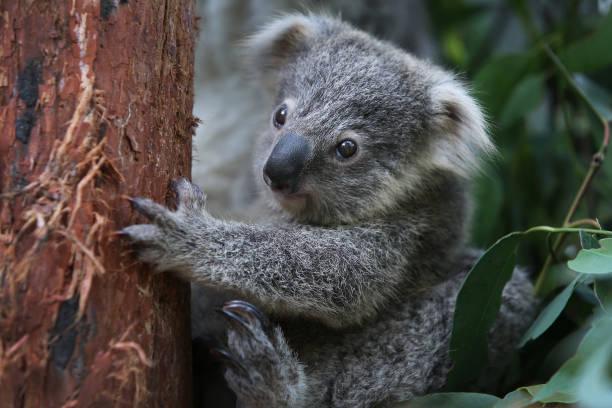 تصاویری جالب از کوالا در باغ وحش استرالیا