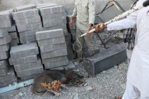 گراز وحشی سرگردان در سرباز زندهگیری شد