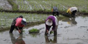 ممنوعیت کشت برنج در سال 1400 لغو شد