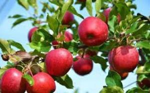 صادرات سیب درختی به هند متوقف شد