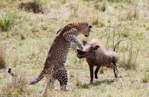 وقتی جای شکار و شکارچی عوض می شود!