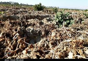 سرما و یخبندان به ۵ هزار هکتار از مزارع و باغات خراسان جنوبی خسارت زد