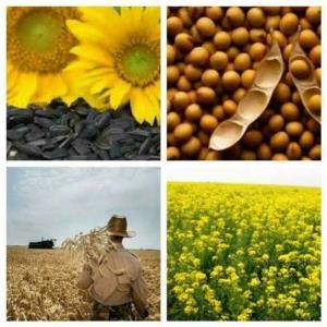 نرخ خرید تضمینی دانه های روغنی و چای در مازندران اعلام شد