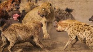 ربودن طعمه کفتارها توسط یک گله شیر